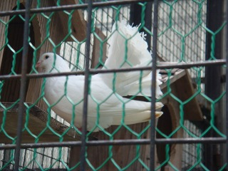 白い鳩っぽいやつ