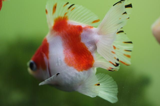 金魚 goldfish 透明鱗更紗流金ST