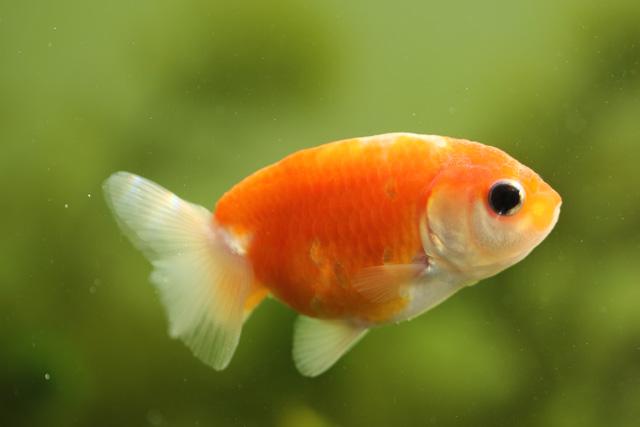 金魚 らんちゅう