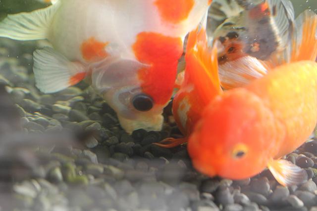 金魚 godlfish