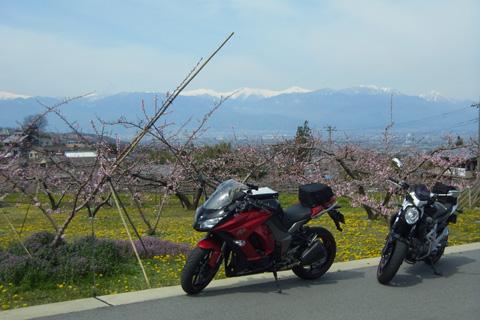 桃の花ツー0415-4
