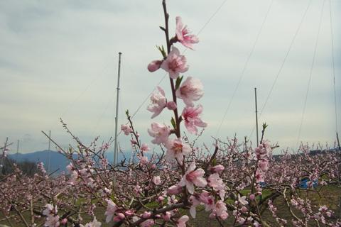 桃の花0415