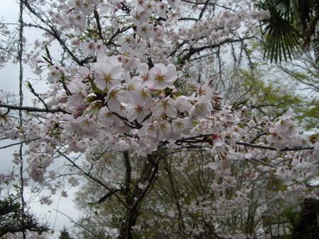 桜2011?