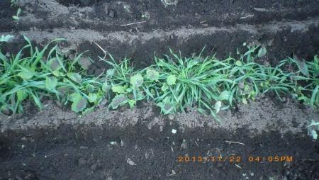 ライ麦畑の除草作業 (2)