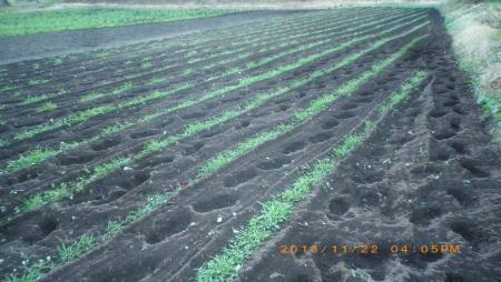 ライ麦畑の除草作業 (1)