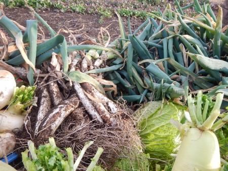 秋野菜の収穫作業 (5)