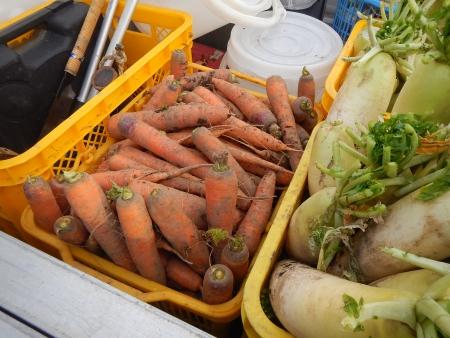 秋野菜の収穫作業 (2)