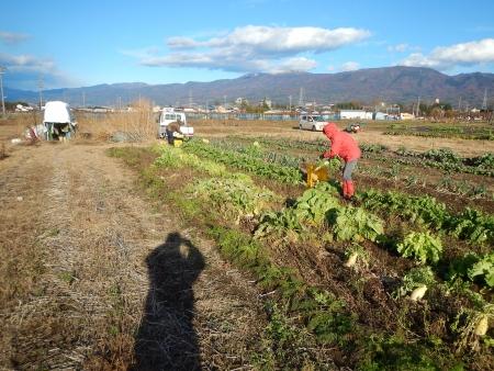秋野菜の収穫作業 (1)