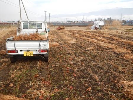 スペルト麦の播種 (1)