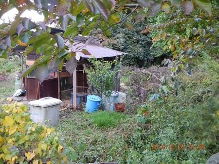 干し柿作り (6)