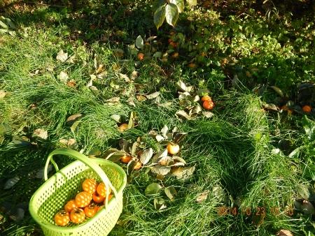 干し柿作り (2)