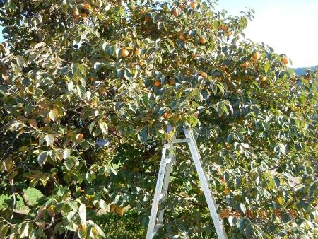 干し柿作り (1)