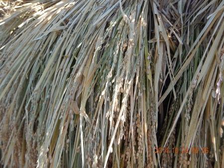 脱穀作業 (1)