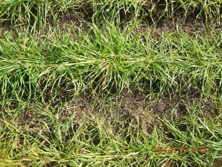 麦に有機資材 (5)