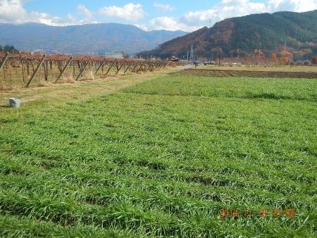 麦に有機資材 (4)