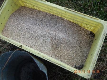 麦に有機資材 (1)