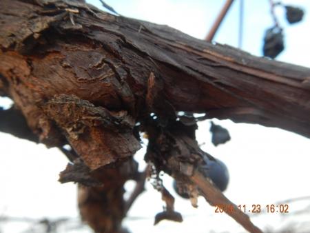 ブドウの剪定 (3)