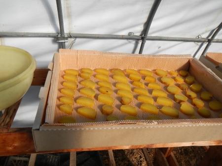 芋干し作り (3)