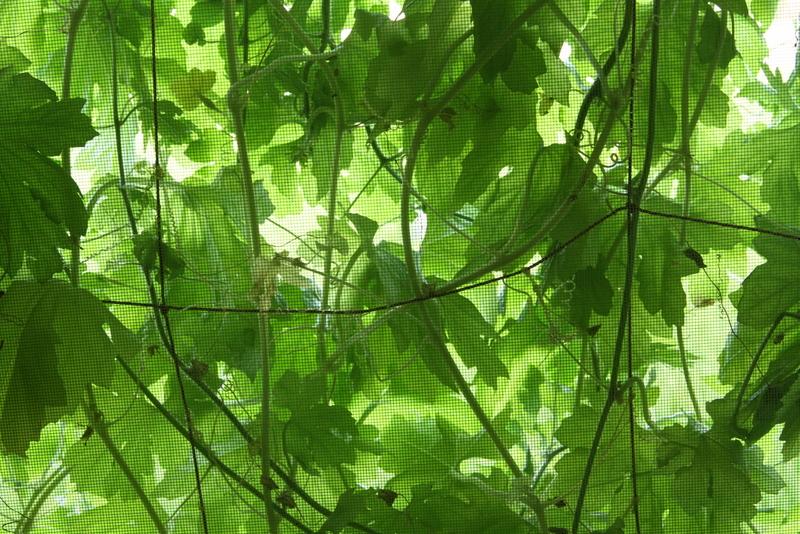 緑のカーテン_0391