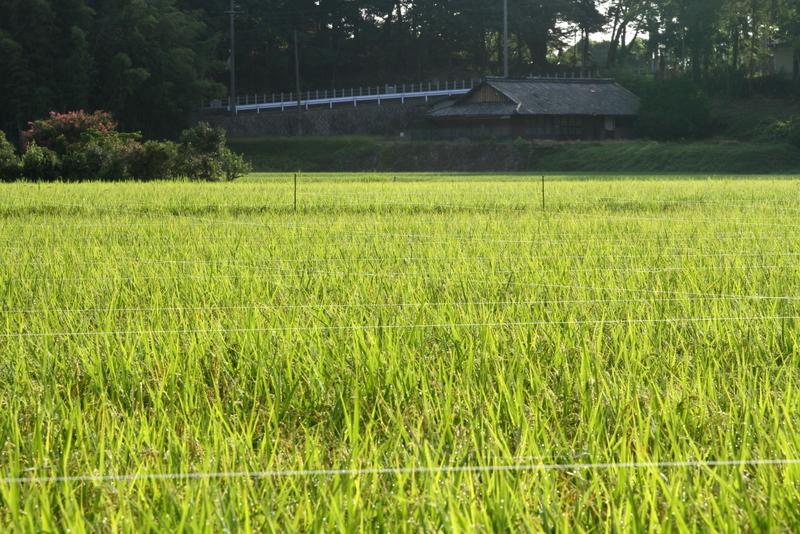 稲20110813_0423