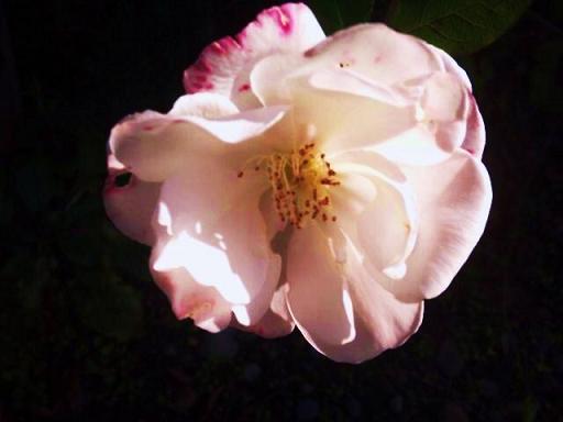 冬のバラ 1