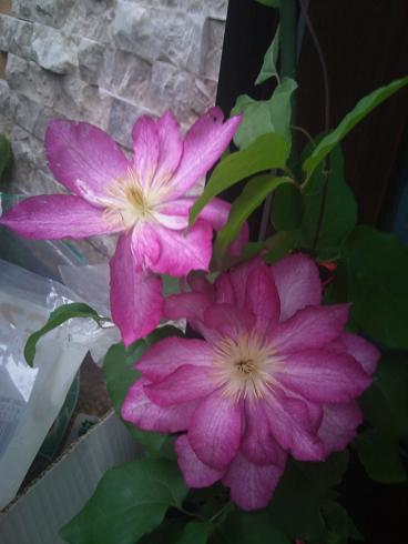 pinkクレマチス
