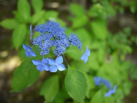 16安楽寺08紫陽花