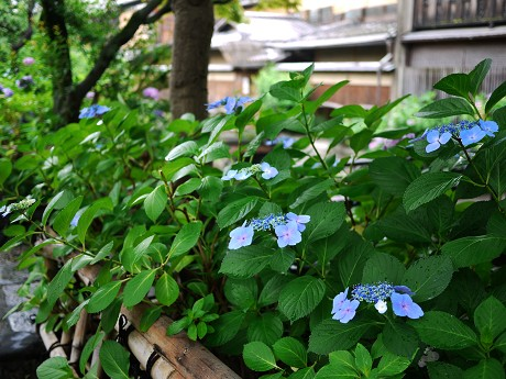 00祇園白川14紫陽花