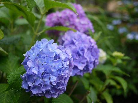 05祇園白川06紫陽花