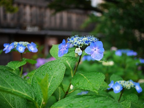 06祇園白川07紫陽花