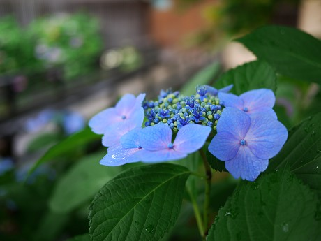 07祇園白川11紫陽花