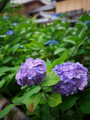 11祇園白川12紫陽花