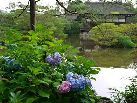 21平安神宮23東神苑-紫陽花
