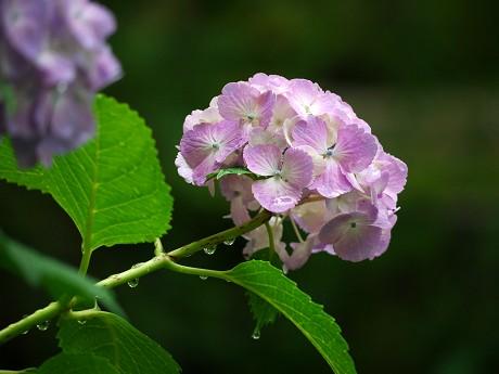 19紫陽花04