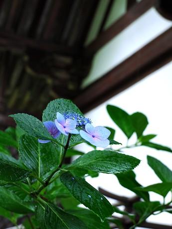 19紫陽花01