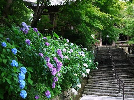 09紫陽花