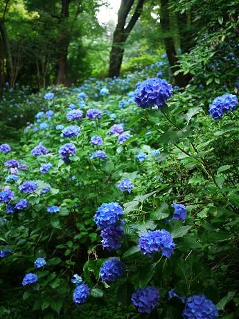 11紫陽花