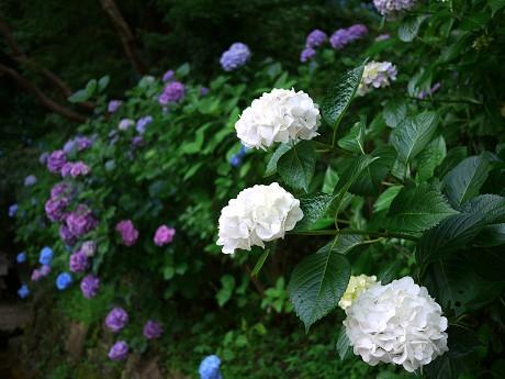 12紫陽花