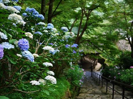 15紫陽花