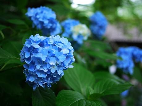 16紫陽花
