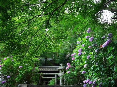 17紫陽花