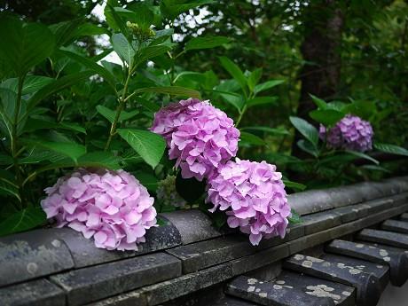 20紫陽花