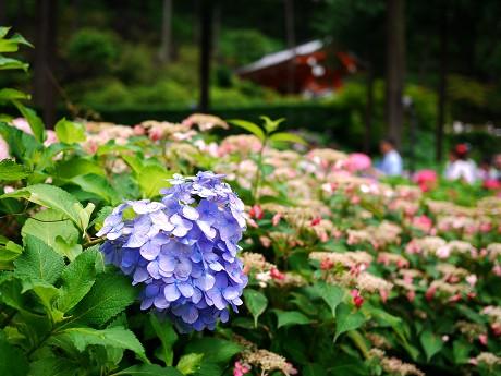 09紫陽花10ハート
