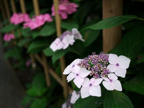 12紫陽花15