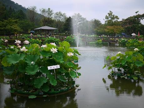 01花ハス公園04