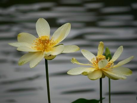 13花ハス公園15黄蓮