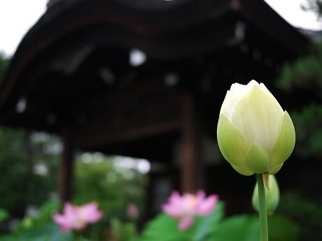 09蓮-白05