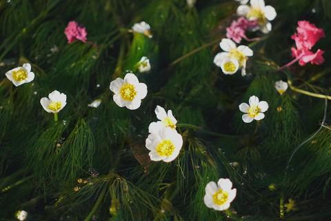 04醒ヶ井-梅花藻3