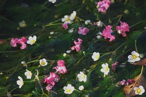 03醒ヶ井-梅花藻2