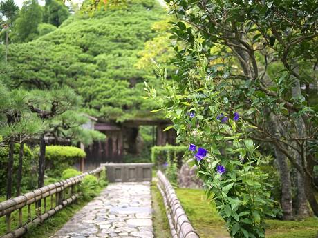 10宝泉院-五葉松と桔梗
